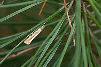 Zünsler, Catoptria margaritella, Crambus margaritellus, Pearl-band Grass Veneer, Silver-stripe Grass-veneer, Le Crambus à rayure d'argent. Crambidae, Zünsler