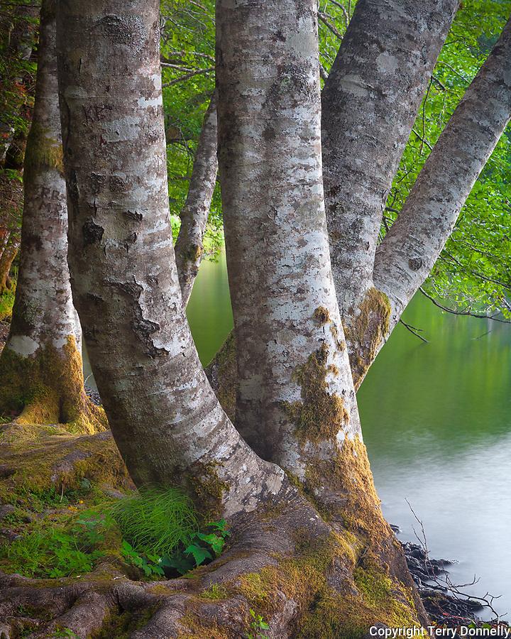 Olympic National Park, Washington<br /> Red alder (Alnus rubra) trunks on the shore of Lake Crescent on the Olympic Peninsula