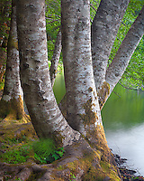 Olympic National Park, Washington<br /> Red alder (Alnus rubra) trunks on the shore of Lake Crescent on the Olympic Peninsula