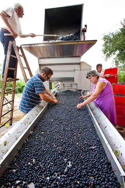 Ripened Brunello grapes, Sangiovese, being harvested at the wine estate of La Fornace at Montalcino in Val D'Orcia, Tuscany, Italy
