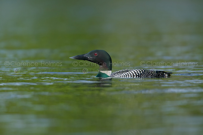 Common Loon (Gavia immer) swimming on a northern lake