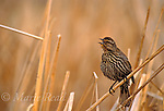 Red-winged Blackbird (Agelaius phoeniceus) female calling, Montezuma NWR, NY.<br /> Slide # B163-521