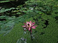 BOGOTÁ-COLOMBIA-15-01-2013. Flor de loto rosada y Victoria amazonica. Flower lotus pink and Victoria amazonica. (Photo:VizzorImage)