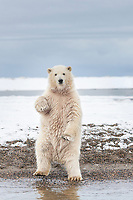 Polar bear cub stands upright along the shores of the Beaufort Sea, Alaska.