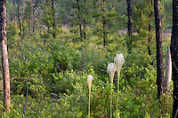 Turkeybeard wildflowers, Pine Barrens, New Jersey