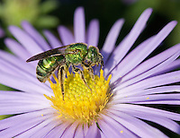 Halictid Bee; Agapostemon sp.; on Aster; PA, Philadelphia