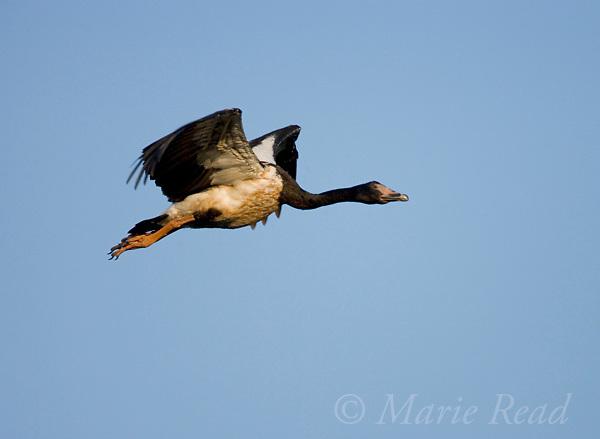 Magpie Goose (Anseranas semipalmata) in flight, Mamukala Wetlands, Kakadu National Park, Northern Territory, Australia.