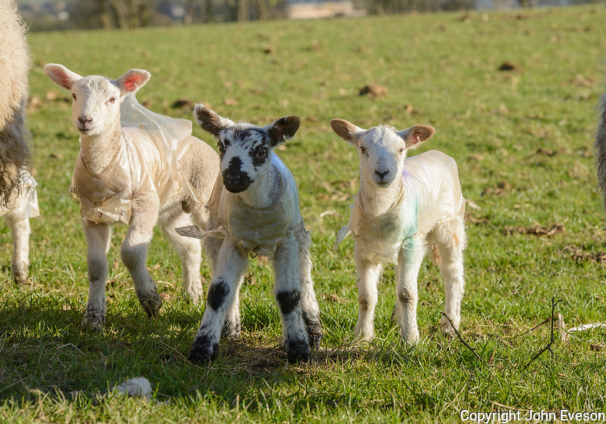 Three young lambs wearing plastic coats to protect agains the weather, Chipping, Lancashire.