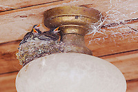 Eastern Phoebe, Sayornis phoebe, young in nest on light, Hill Country, Texas, USA, April 2007