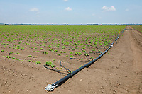 Irrigating potatoes with T tape - Lincolnshire, June