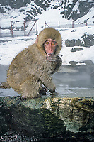 primate, Japanese macaque, Snow monkey, Macaca Fuscata, Jigokudani means Hell's valley hot spring, Ngano, Japan