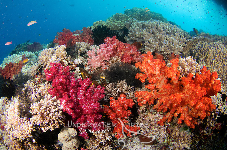 Soft coral and tropical fish, Dendronephthya sp., Misool, Raja Ampat, West Papua, Indonesia, Pacific Ocean