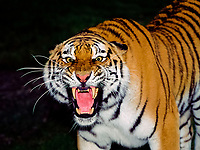 Siberian tiger, or Amur tiger, Panthera tigris altaica, adult, endangered species, growling, open mouth, displaying teeth, Asia