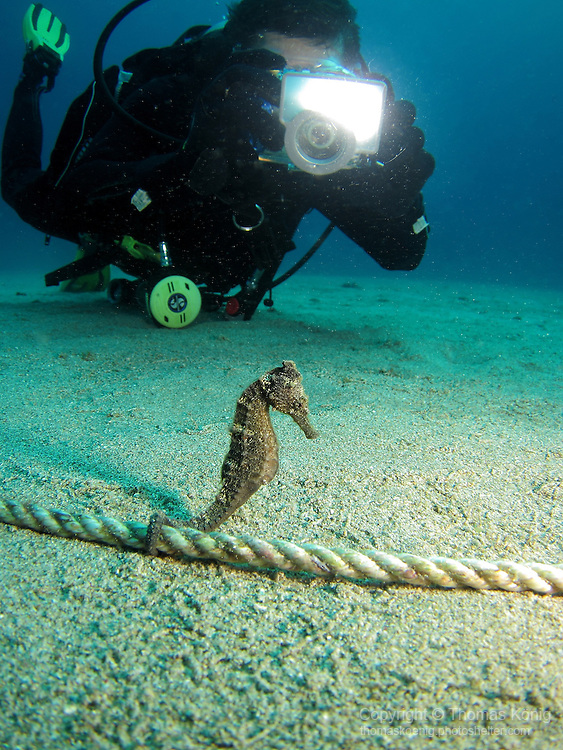 Kenting, Taiwan -- A Zebra-Snout Seahorse being photographed like a movie star.<br /> <br /> I guess paparazzi are everywhere!
