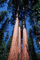 Upward view of a grove of Sequoia trees (Sequoiadendron giganteum.). Sequoia National Park, California.