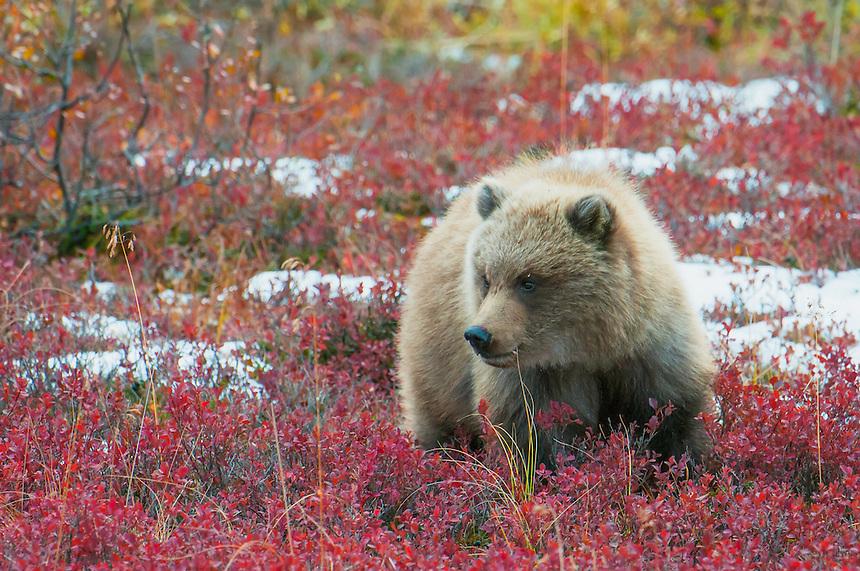 Bear Cub in Fall