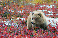 Bear Cub in Fall