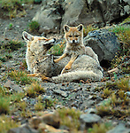 Argentine Gray Fox, Torres Del Paine National Park, Chile