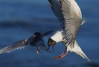 Gull - Bonaparte's