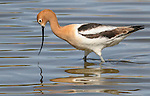 American Avocet (Recurvirostra americana), wades in a small pond in Colorado