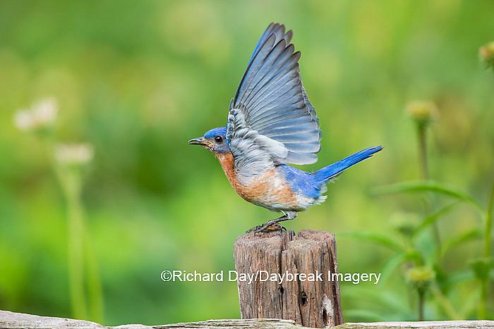 01377-18015 Eastern Bluebird (Sialia sialis) male wing-waving in flower garden, Marion Co., IL