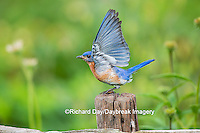 01377-18015 Eastern Bluebird (Sialia sialis) male wing-waving in flower garden, Marion Co., IL
