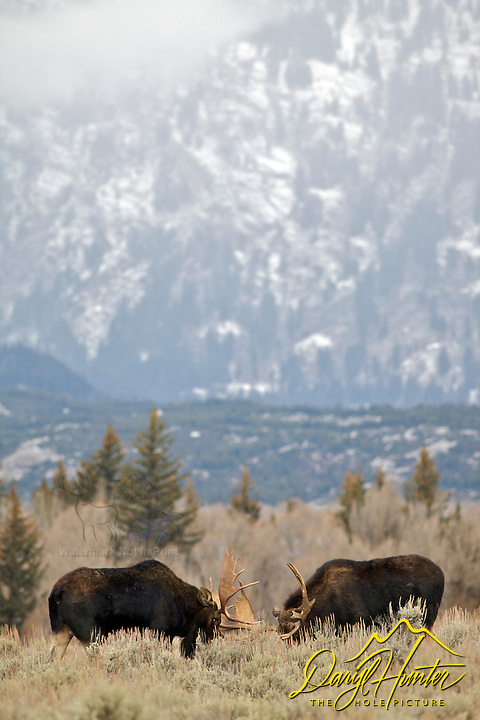 fighting Bull Moose, Grand Teton National Park