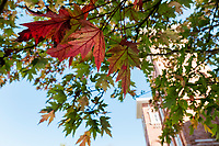 Fall leaves with Twin Towers.<br />  (photo by Megan Bean / &copy; Mississippi State University)