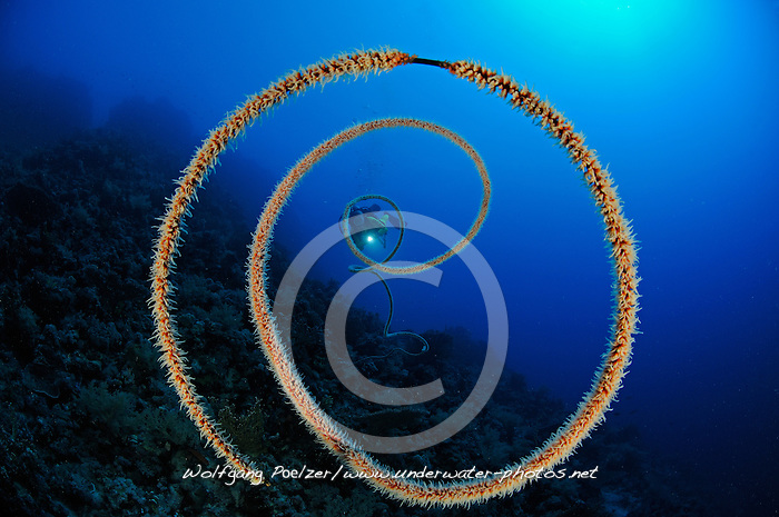Spiral wire coral, Cirripathes spiralis, and scuba diver, South Egypt, Red Sea, MR