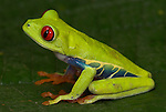 Red Eyed Tree Frog, Agalychnis callidryas, sitting on leaf, Guayacan, Provincia de Limon, Costa Rica, Amphibian Research Center, tropical jungle, South America.Central America....