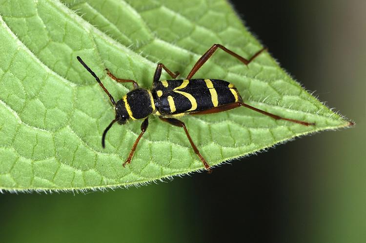 Wasp Beetle - Clytus arietus