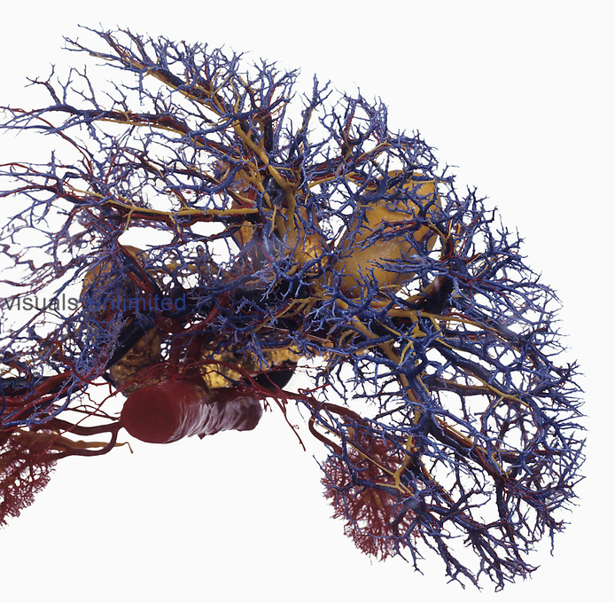 Resin cast of blood vessels in the human liver and gall bladder from above.