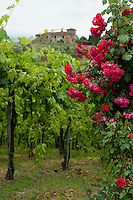 Roses in bloom in a vineyard, Chianti, Tuscany, Italy