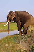 Indian Elephant or Asian Elephant bull (Elephas maximus).scratching rear on bank.  India.