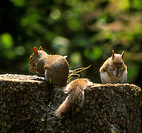 Squirrels on a tree stump