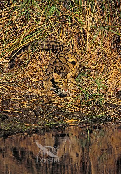 CLOUDED LEOPARD camouflaged against bamboo. Found in Indochina, India, Sumatra, Borneo & Taiwan. (Neofelis nebulosa).