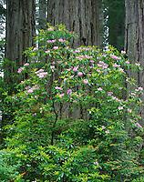 Del Norte Coast Redwood State Park, CA<br /> Redwood (Sequoia sempervirens) trunks behind flowering Rhododendron (R. macrophyllum)