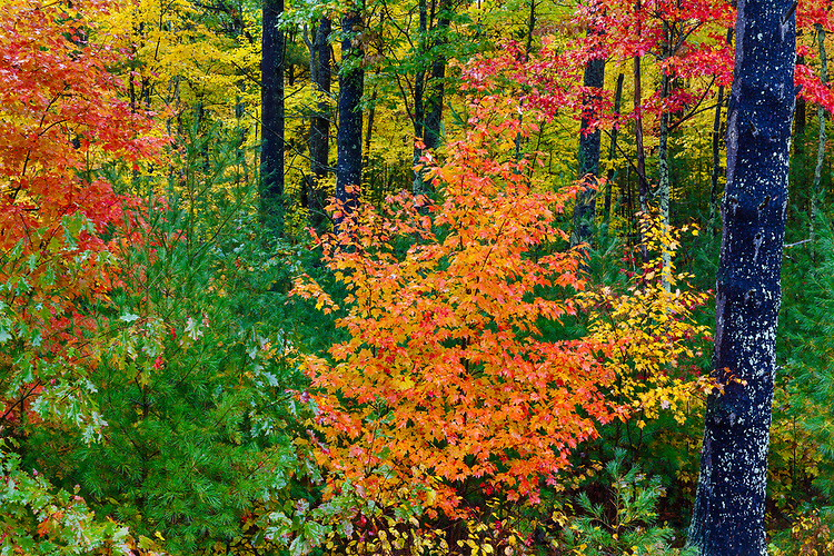 Maple trees in Fall color; Northern Highland-American Legion State Forest. WI