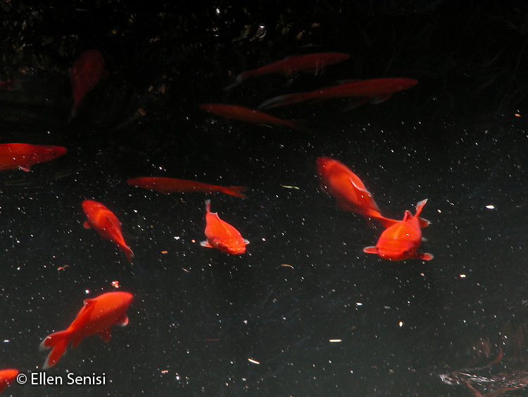 Seabeck, Washington.Goldfish in the pond at Willcox House Country Inn..© Ellen B. Senisi