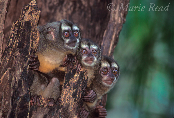Owl Monkeys (Aotus sp.) (=Night Monkeys) family in their daytime roost in a hollow tree, Soberania National Park, Panama.  2 adults with younger animal between them.<br /> Slide # M7-315