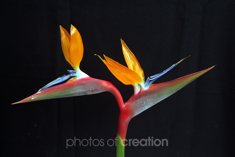 Strelitzia - Bird of Paradise