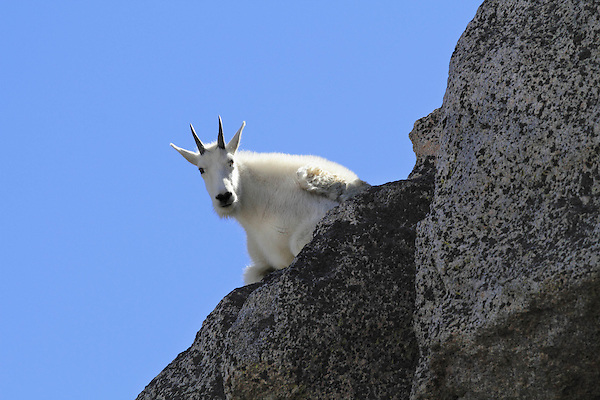 Mountain Goat (Oreamnos americanus) on the slopes of Mount Evans (14250 feet), Rocky Mountains, west of Denver, Colorado, USA Guided photo tours and hiking tours to Mt Evans. .  John leads private, wildlife photo tours throughout Colorado. Year-round.