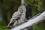 Great gray owl. Jackson Hole, Wyoming.