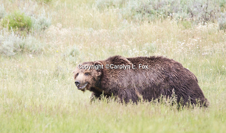 This is Scarface, one of the oldest grizzly bears in Yellowstone.