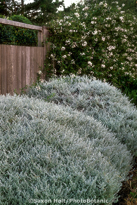 Plecostachys serpyllifolia (Hottentot Tea) silver gray foliage shrubby perennial as hedge