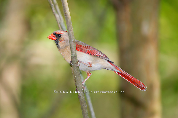 Bird, Northern Cardinal, Female, Cardinalis cardinalis