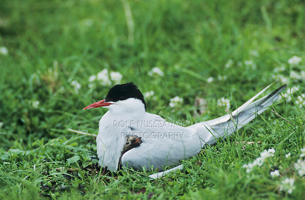 Arctic Tern, Sterna paradisaea, adult on nest with young, Nesseby, Norway, June 2001