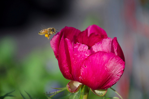 Bee flies to pink Peony flower, Yarmouth Maine, USA