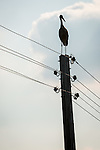 Stork sits on top of power pole, Mlekarovo, Bulgaria