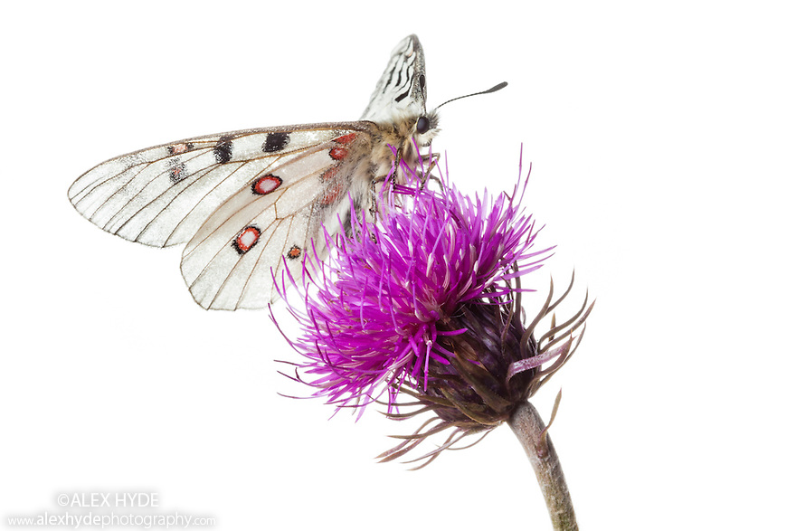 Small Apollo butterfly {Parnassius phoebus} photographed in mobile field studio on a white background. Nordtirol, Austrian Alps. August.